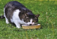 gatto mangia da ciotola