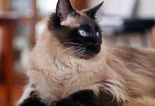 gatto balinese a pelo lungo