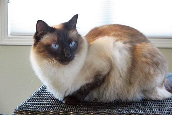 razza felina a pelo lungo