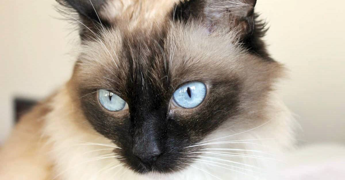 gatto con gli occhi azzurri