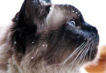 muso del gatto balinese
