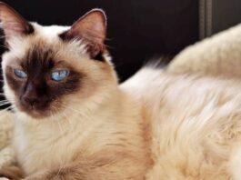 caratteristiche del gatto balinese