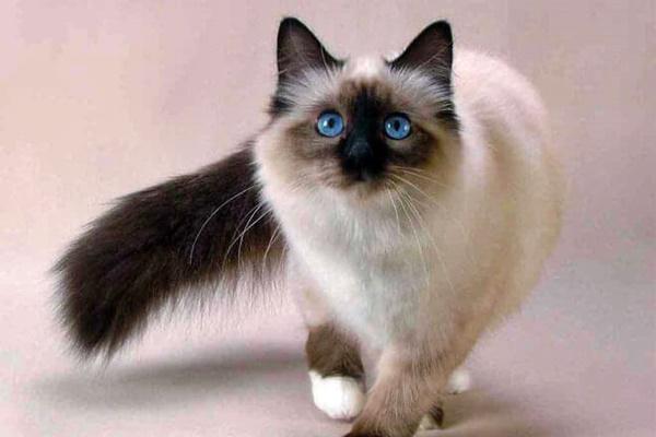 un esemplare di gatto balinese