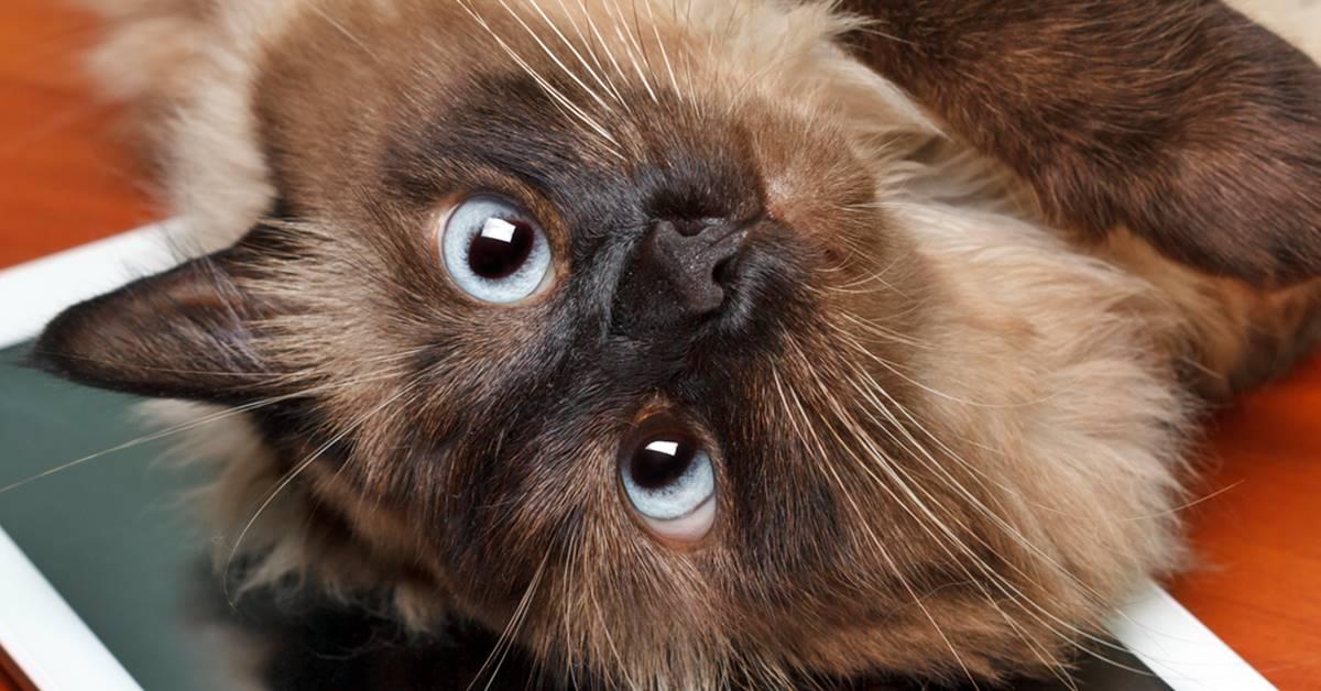gatto balinese dal carattere allegro