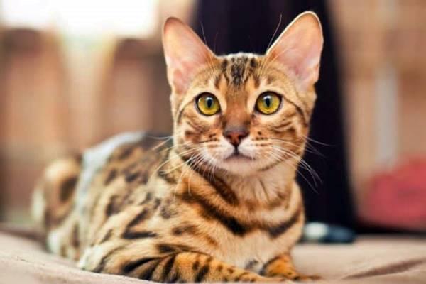 accogliere un gatto del bengala in casa