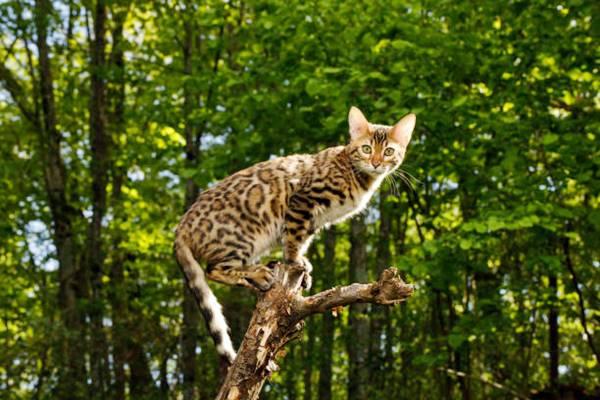un gatto del bengala che si arrampica su un albero