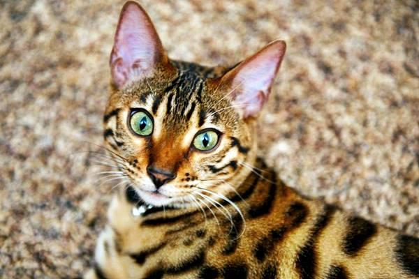 gatto che somiglia a una tigre