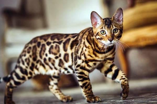 esemplare di gatto del bengala