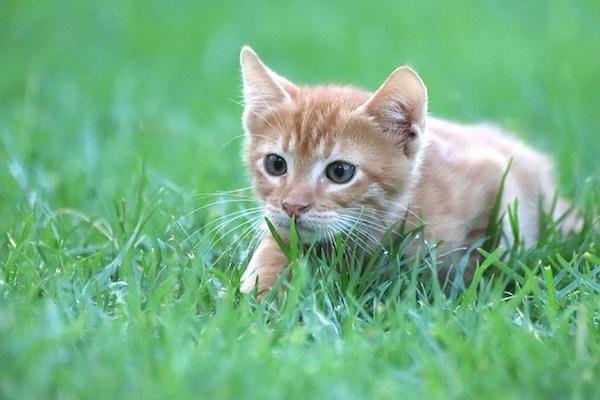 gatto in allerta per cacciare