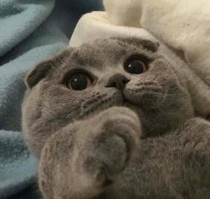 gatti scottish fold storia