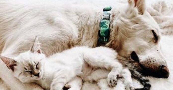 gatto offre amore e conforto cane