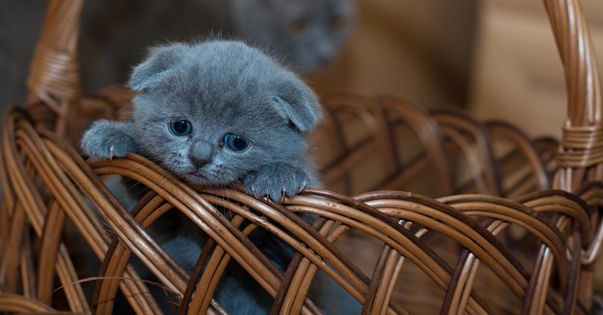 Gattino in una cesta