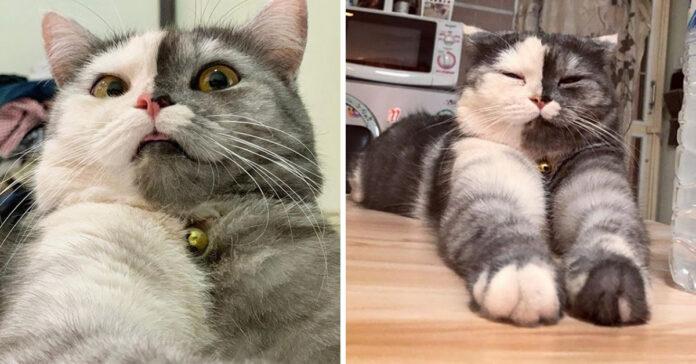 Cat gattino Chimera