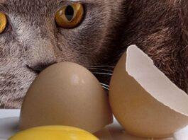 gatto e uovo aperto
