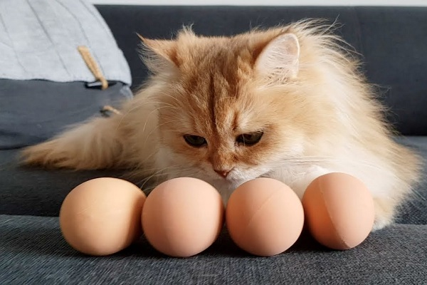 gatto a pelo lungo e uova