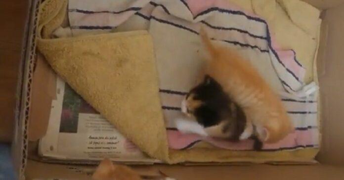 gattini giocano scatola video