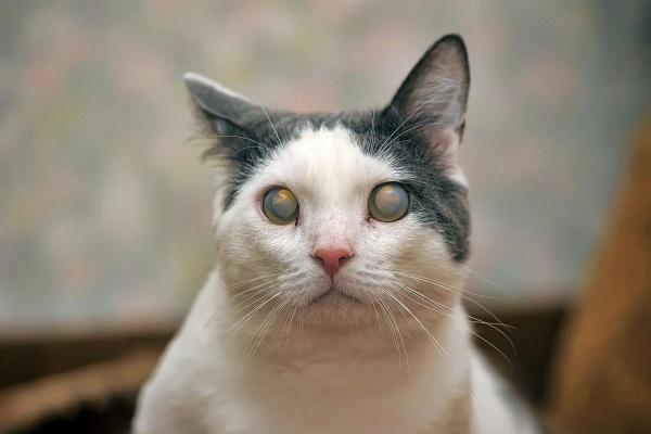 Gatto bianco e grigio cieco