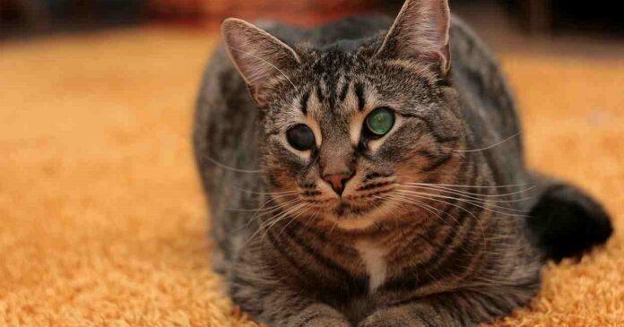 Gatto cieco su divano