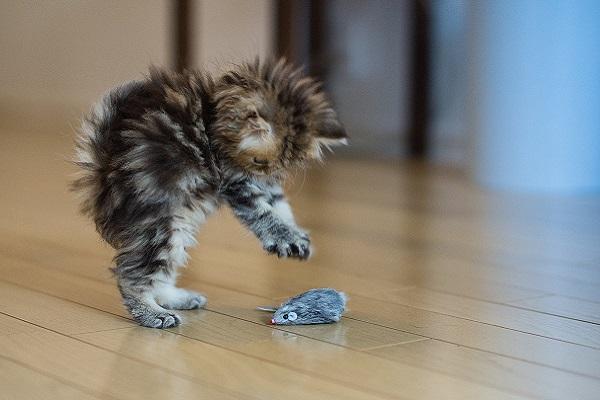 gattino che gioca con pupazzo