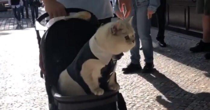gattino passeggino video