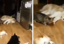 Gatto cammina tra i cani