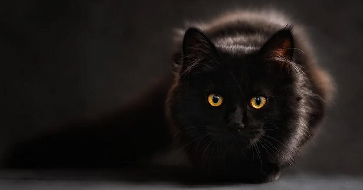 Gatto nero osserva
