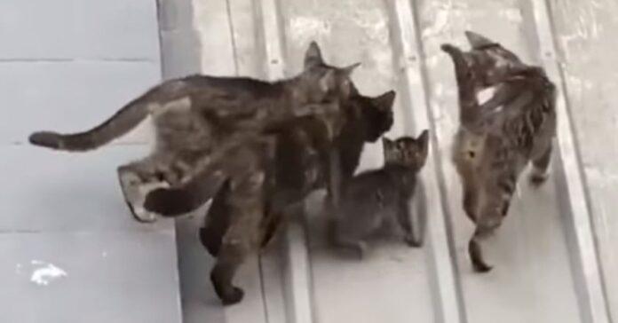 mamma gatta gattino video