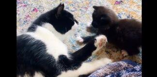 mamma gatta gattini video