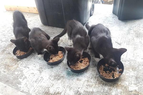 mamma gatta gattini cibo