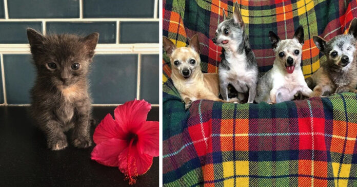 Gattino con un gruppo di Chihuahua