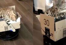 Gatto gioca dentro una scatola