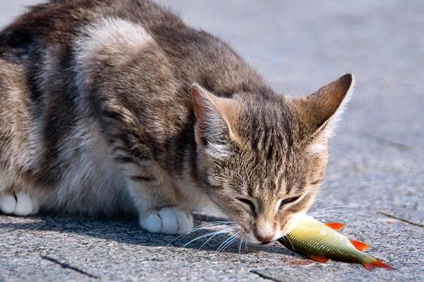 gatto che mangia un pesce crudo