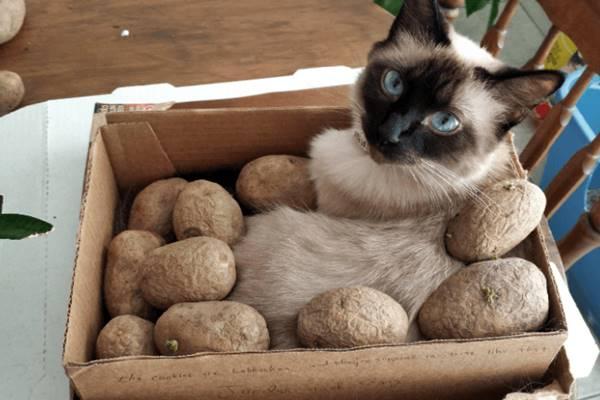 gatto con le patate