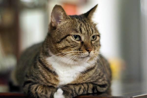 gatto sedentario