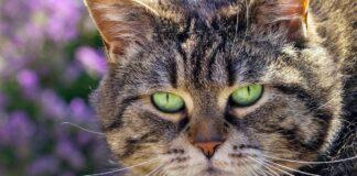 gatto che tende a ingrassare