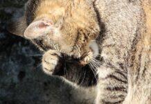 gatto che si gratta