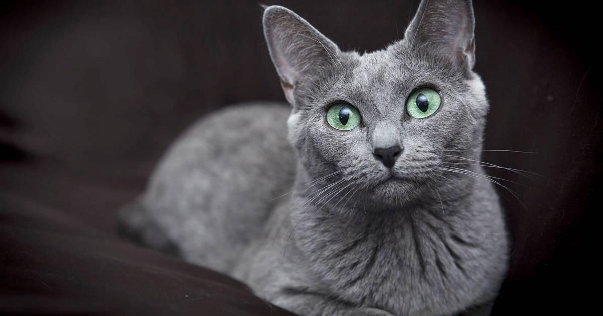 gatto con il mantello blu
