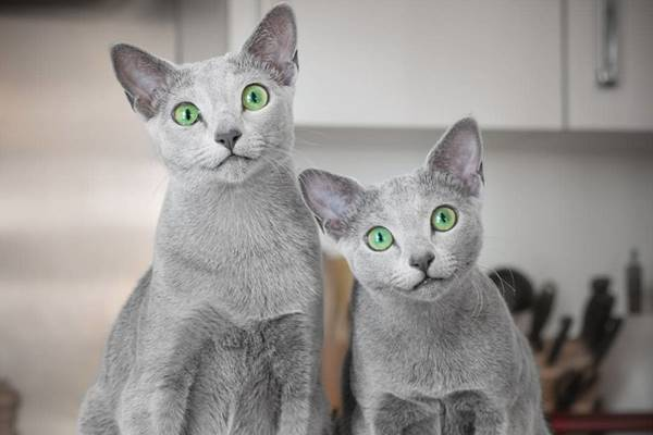 due gatti blu di russia