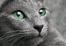 gatto con gli occhi di colore verde