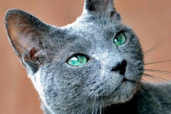 gatto grigio e blu con gli occhi verdi