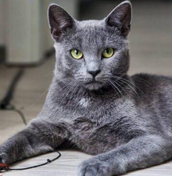 gatto che gioca con dei laccetti