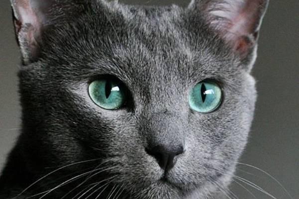 occhi verdi del blu di russia