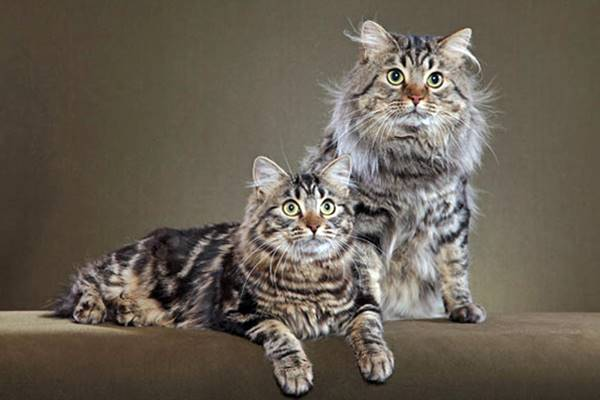 gatti a pelo lungo e tabby