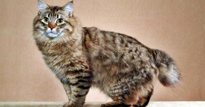 gatto a pelo lungo di tipo tabby
