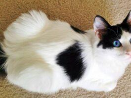 gatto con il mantello a pelo semi lungo