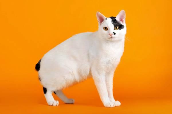 gatto con una macchia nera sul muso