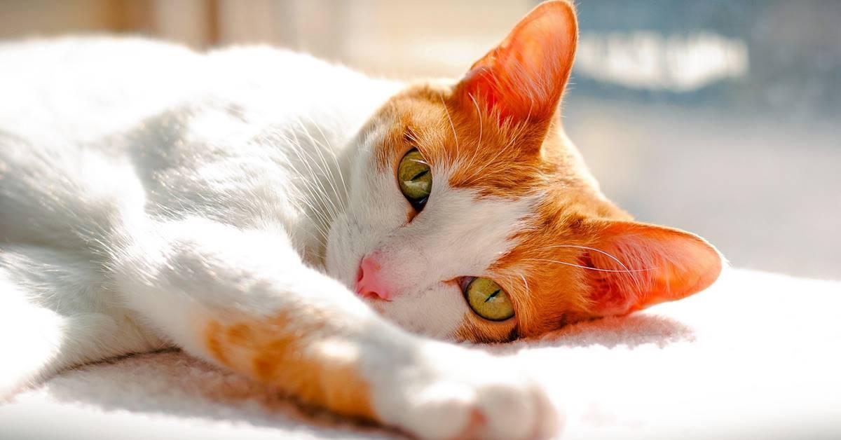 gatto con il pelo bianco e arancione