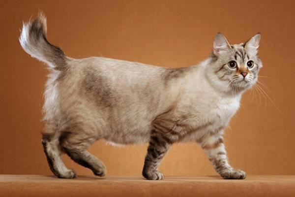 gatto con la coda molto corta
