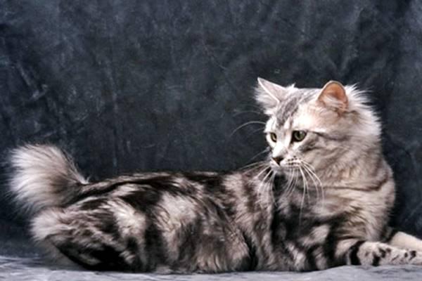 gatto con il mantello grigio tigrato