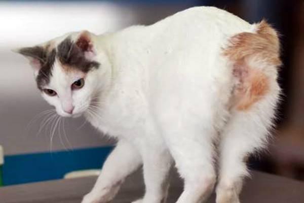 gatto a pelo corto bianco e marrone
